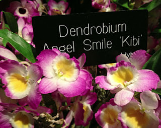 Angel smile kibi orchid