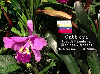 Cattleya lueddemanniana orchid